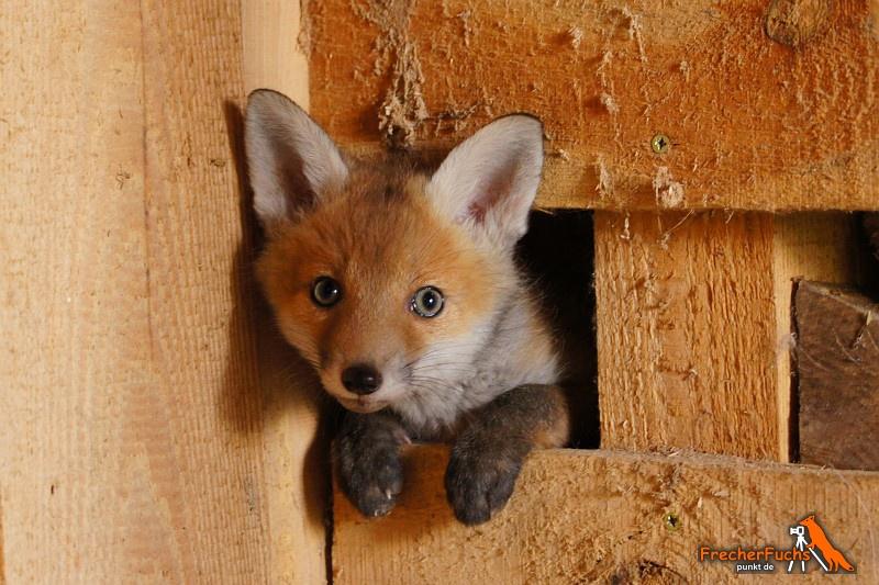 21 neue Fuchswelpen