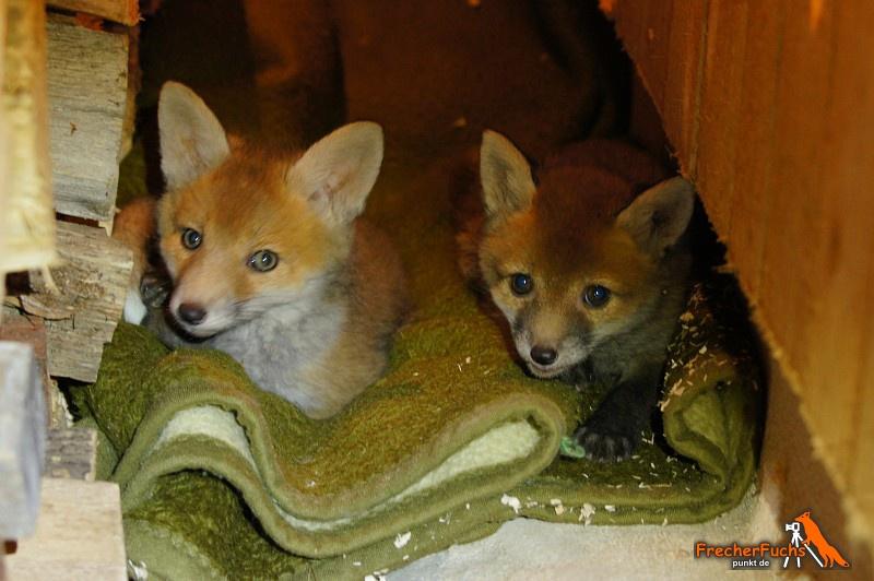 22 neue Fuchswelpen