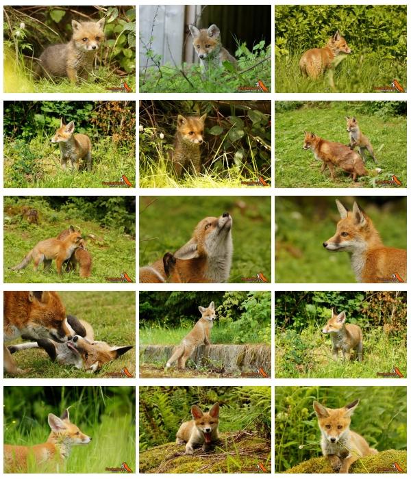 Verwaiste Fuchswelpen vom Projekt www.frecherfuchs.de